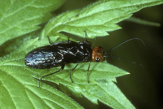 Sawfly - Acantholyda erythrocephala