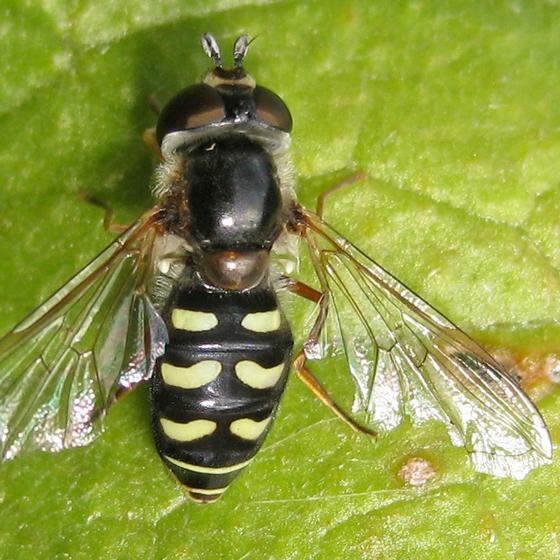 Syrphinae - Eupeodes volucris - female