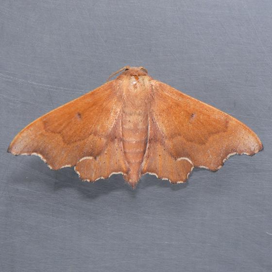 7659  Scalloped Sack-bearer  - Lacosoma chiridota