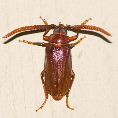 Tile-horned Prionus Beetle - Prionus imbricornis