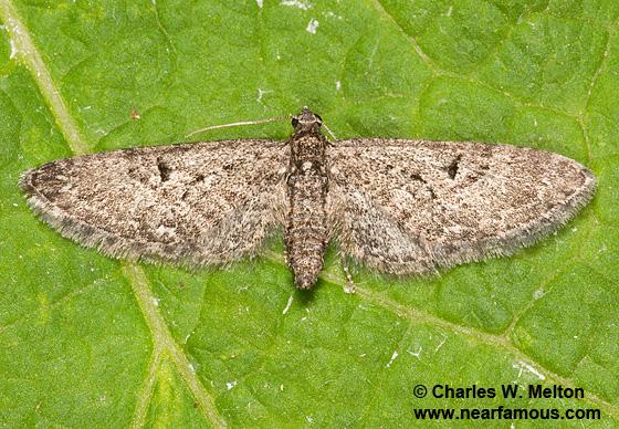 Eupithecia prostrata