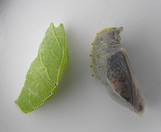 Pennsylvania Chrysalis - Asterocampa clyton