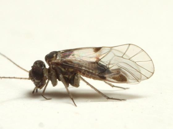 Indiopsocus bisignatus - male