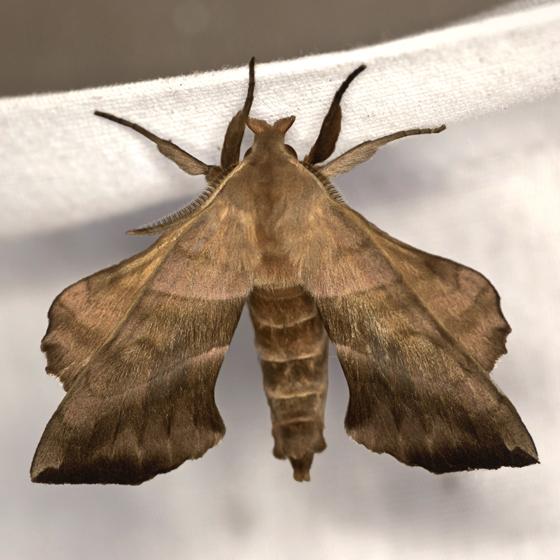 Walnut Sphinx - Hodges #7827 - Amorpha juglandis