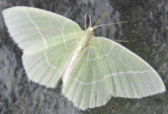 light green moth - Nemoria mimosaria