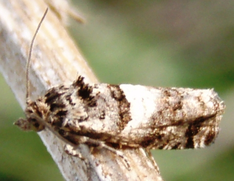 small moth in old field - Apotomis infida