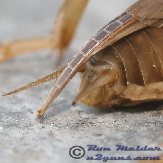Mole cricket - Neoscapteriscus vicinus - female