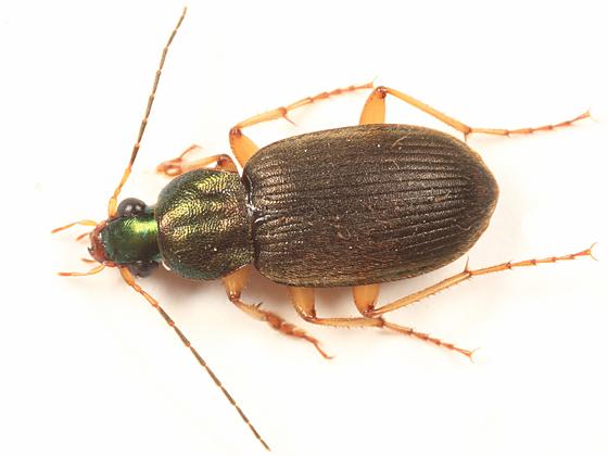 Vivid Metallic Ground Beetle - Chlaenius pennsylvanicus - male