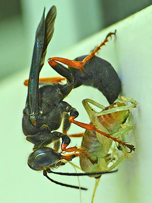 Wasp-Cricket Predation - Sphex nudus - female