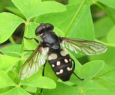 Fly with white markings - Sericomyia lata
