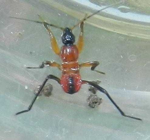 Hemiptera - Sirthenea carinata