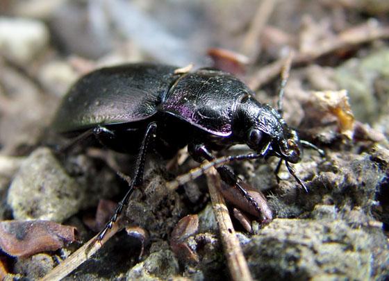 European Ground Beetle - Carabus nemoralis