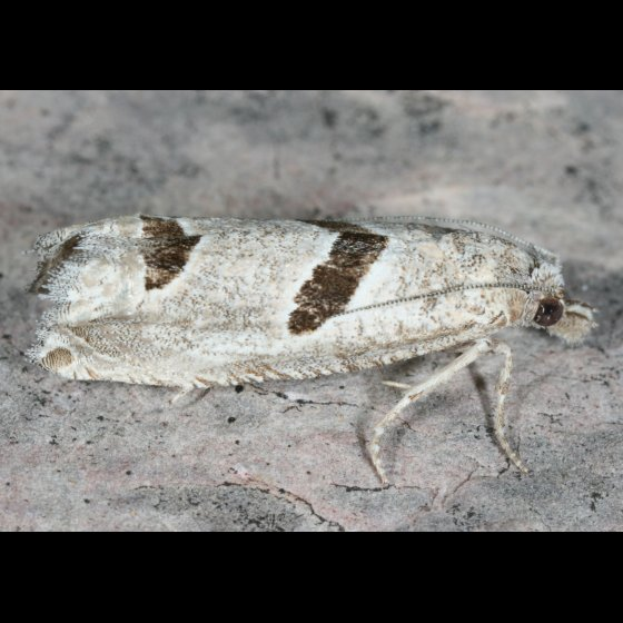 Moth 19 - Pelochrista mirosignata