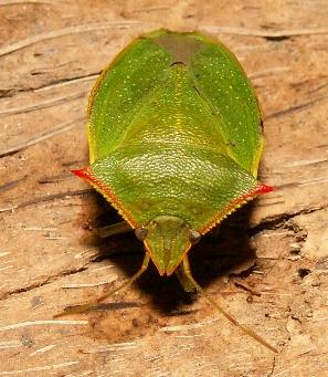 Pentatomidae - Genus / Species ? - Loxa flavicollis