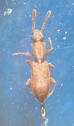 Beetle - Silvanus muticus
