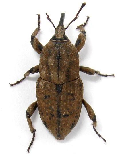 Sphenophorus venatus - Sphenophorus destructor