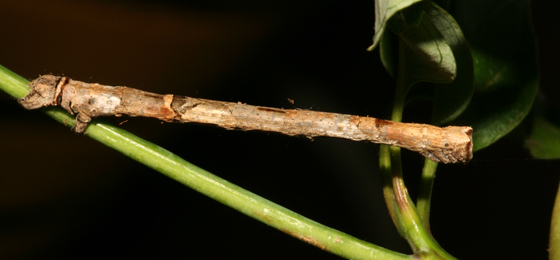 Geometridae, larva - Pero ancetaria