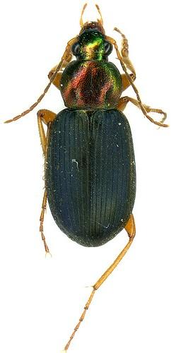 Vivid Metallic Ground Beetle (Chlaenius spp.) - Chlaenius tricolor - male