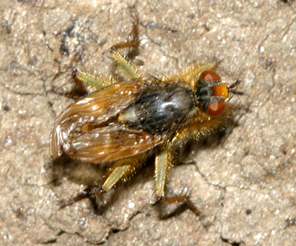 fly with unformed wings - Scathophaga stercoraria