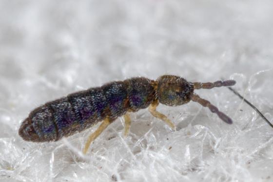Entomobryomorpha - Isotominae? - Vertagopus arboreus