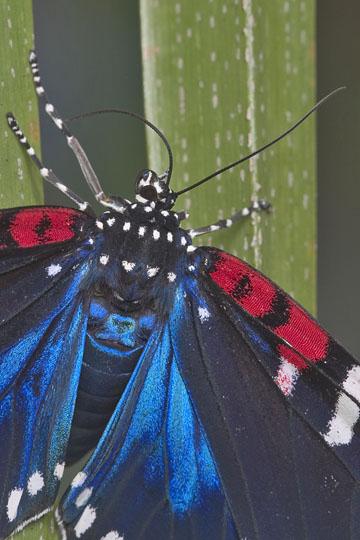 Faithful Beauty - Composia fidelissima - female