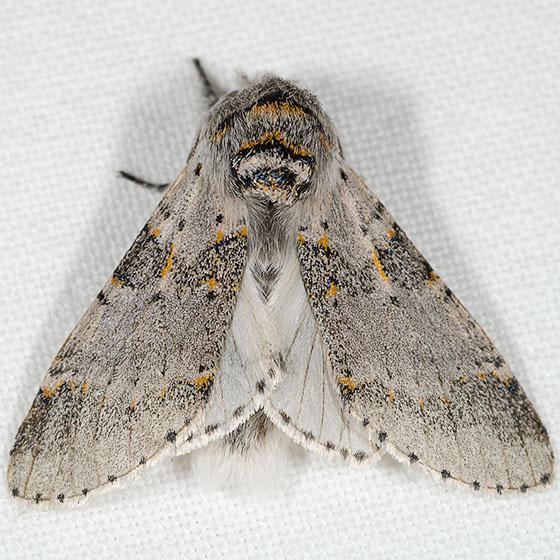 Gray Furcula Moth - Furcula cinerea