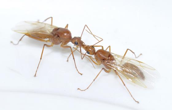 Red ant behavior - Camponotus castaneus - male