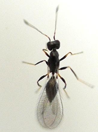 wasp - Polynema - female