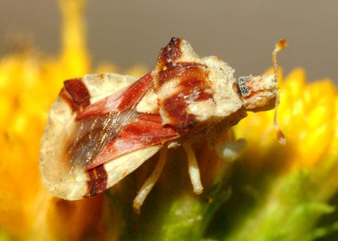 Ambush Bug, Phymatidae - Phymata pacifica - BugGuide.Net