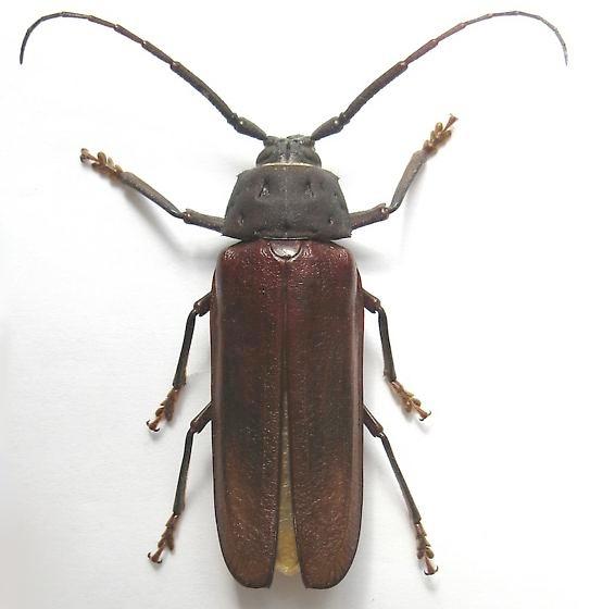 Male Ponderous Borer - Trichocnemis spiculatus - male