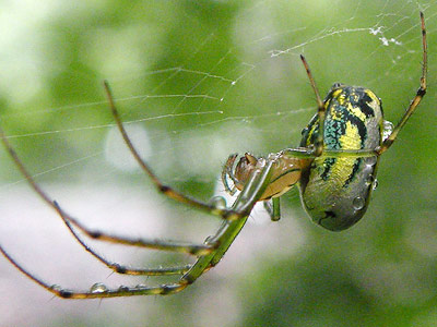 spider with green and yellow abdomen - Leucauge venusta