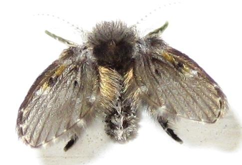 What type of fly? - Clogmia albipunctata