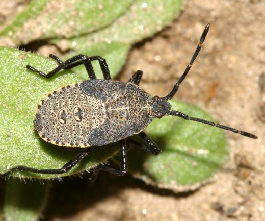 Squash Bug nymph - Anasa tristis