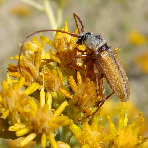Desert Longhorn - Crossidius suturalis - male