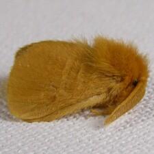 4642 - Yellow Flannel Moth - Lagoa pyxidifera - Megalopyge pyxidifera - male