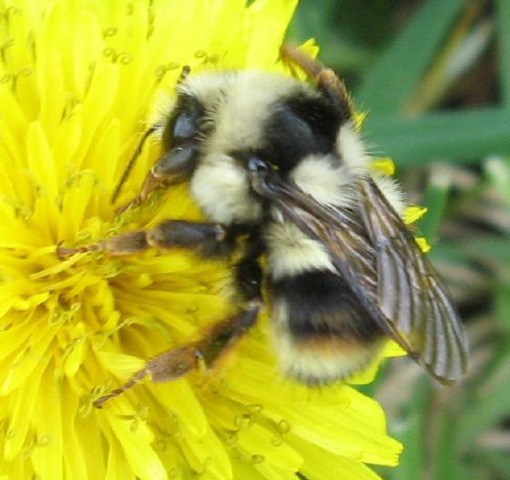 Bombus 04b - Bombus bifarius - female