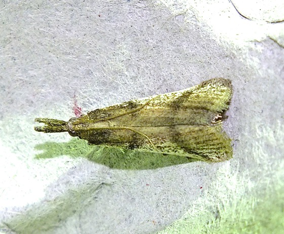 Unknown Moth - Peoria longipalpella