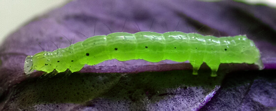 Caterpillar - Chrysodeixis includens
