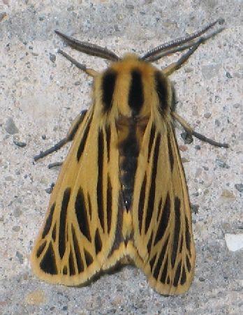 Little Virgin Tiger Moth - top - Apantesis virguncula