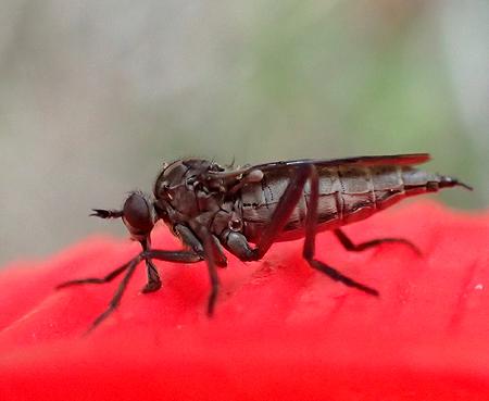 fly - Rhamphomyia - female