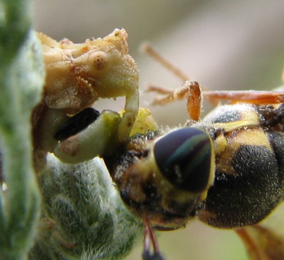 ambush bug - Hoplitimyia constans