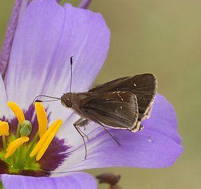 small skipper butterfly - Lerema accius - male