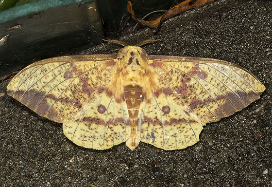 Pine Imperial Moth - Eacles imperialis