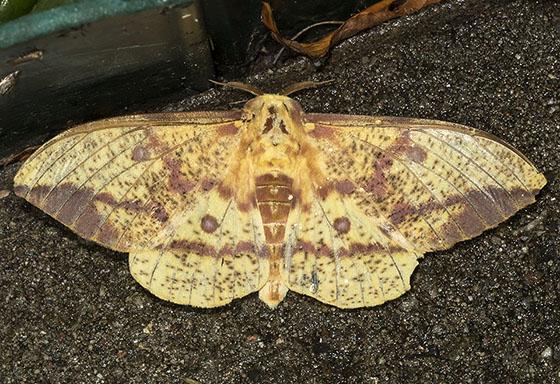 Pine Imperial Moth - Eacles imperialis