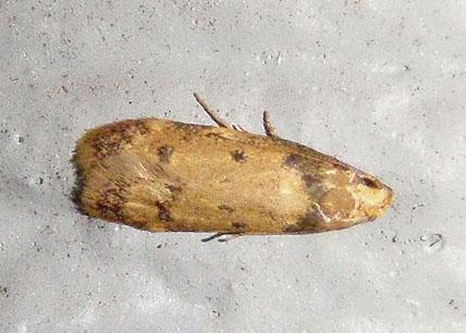tan moth - Gerdana caritella