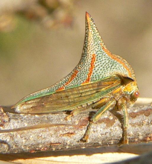 Treehopper - Umbonia crassicornis