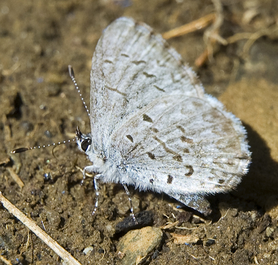 Is this a kind of Blue? - Celastrina