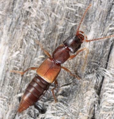 Rove Beetle - Achenomorphus corticinus