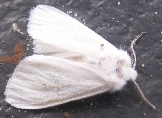 White Moth, Deceased - Alarodia slossoniae