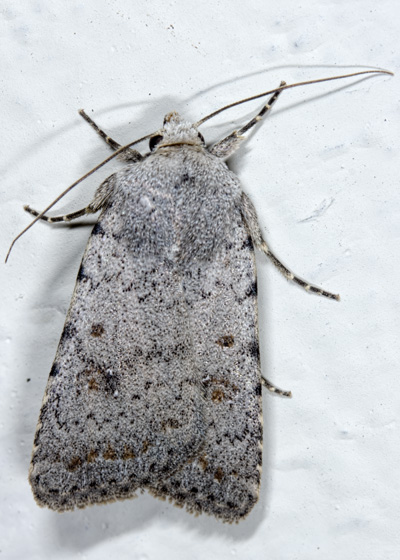 Caradrina Species - Caradrina clavipalpis